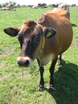 450px-jersey_cattle_in_jersey.jpg