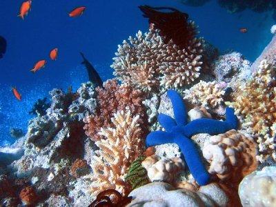 450px-blue_linckia_starfish.JPG
