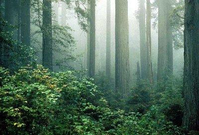 redwood_and_fog.jpg