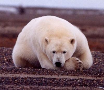 693px-polar_bear.jpg