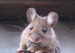 Is there a mouse in your house? Let's look at some eco-friendly and