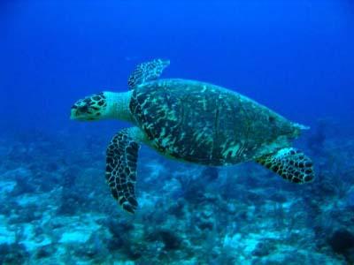 hawkbill_turtle.jpg