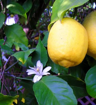 lemon_8fruitandflower_wb.jpg
