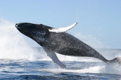 humpback_whale_jumping1.jpg
