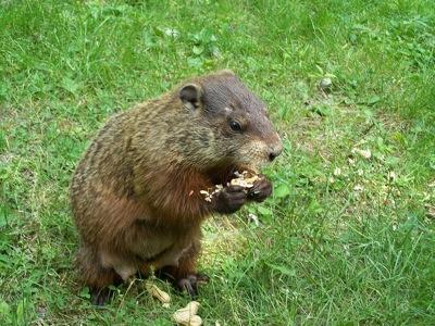 800px-groundhog2.jpg