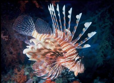 800px-lionfish.JPG